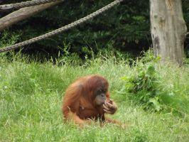 stock orang utan 02 by joshi-stock