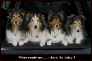 Four shelties in the car by Joe4520150