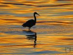 Heron In the Autumn Water by wolfwings1