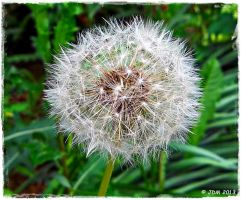 Blow-Dandelion by JDM4CHRIST