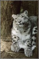 Snow Leopard Rests by Bella-Blue