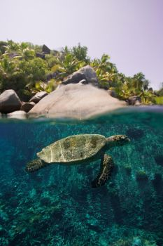 Green Turtle, Over and Under by leighd