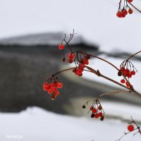 Fruits sur redoux d'Hiver by hyneige