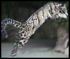 Clouded leopard leaping by lethe-gray
