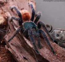 Chromatopelma cyaneopubescens by jodroboxes