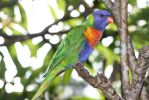 Rainbow Lorikeet by angela808
