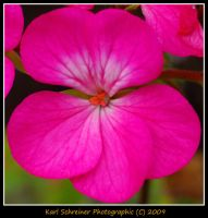 Pink 2 by KSPhotographic