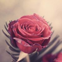 Rose.. by Alyss6