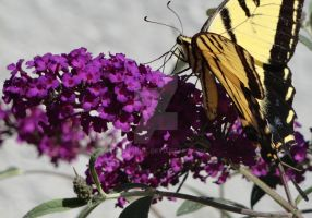 Swallowtail and Butterfly Bush by timewhorl