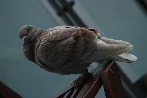 Pigeon 3 by CAStock