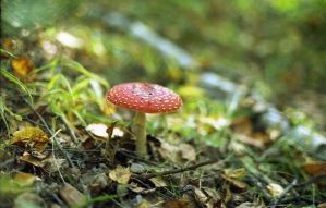 Fly-agaric by SilweRain