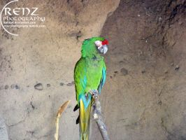 Green Macaw by katiriot
