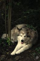 The wolf in the forest by AndreaHaesler