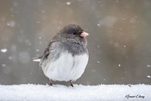.:Junco Snow Day II:. by RHCheng