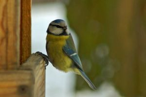 blue tit 2 by photo-exile