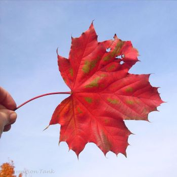 Look what I found - Red Fall Delight by Villa-Chinchilla