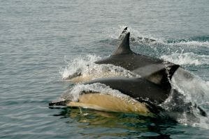 Dolphins I by anjules