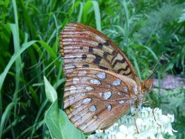Great Spangled Fritillary by Anachronist84