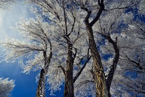 snow trees by mbennion76