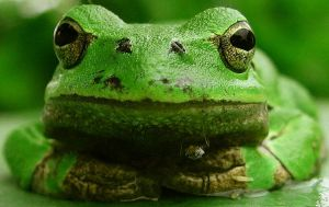 tree frog by kingdaughter