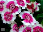 Dianthus Flower by tintinologistmimi