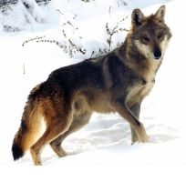 Wolf in the Snow by SolStock