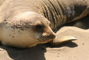 Sweet Elephant Seal by I-Heart-Photos