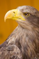 White-tailed Eagle by vetchyKocour