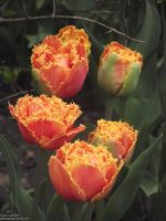 Fringed Tulips by Gatesigirl