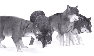 Wolf Pack by Sessko