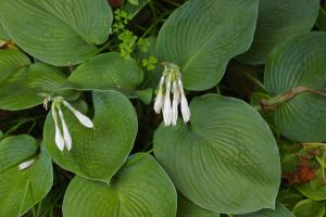 Hosta in Bloom by PatGoltz