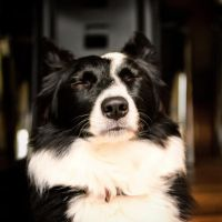 Border Collie by rhiannonphillips