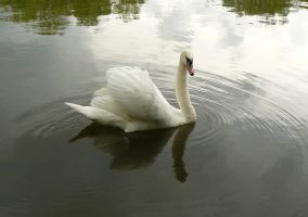 white swan swimming by Nexu4
