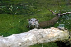 Asian Small-Clawed Otter 020 by The-Long-Shot