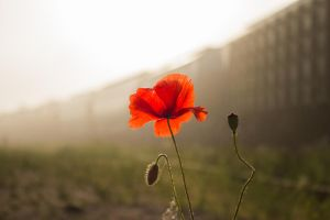 Early Poppy by Artursphoto