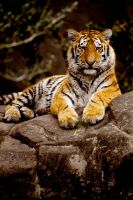 Tiger 31 by Art-Photo