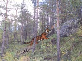 Tiger in a Lapin pine forest by PaulEberhardt