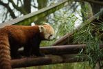 Red Panda after the rain by Mr-N0thing