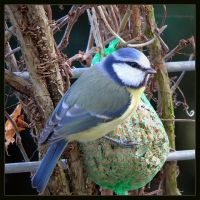 blue tit by Ingelore