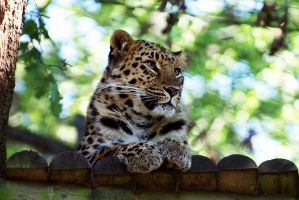 Amur Leopard by FurLined