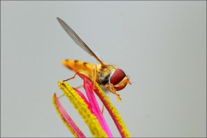 hoverfly1 by sandxr