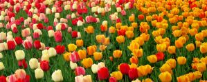 Tulips 5 by zaphotonista