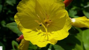G5s Magnifier Flower in Yellow by The-Dude-L-Bug