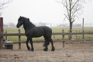 Friesian Stallion 36 by PerfectionStock