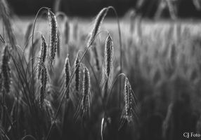 Sad before harvest by CJacobssonFoto