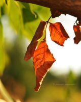 Autumn leaves by fotografka