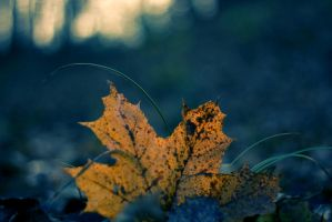 maple leaf by rencee