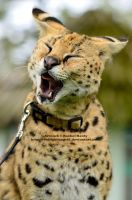 Laughing Serval by 8TwilightAngel8