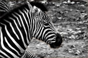 beautifully striped by TlCphotography730