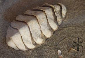 Chiton Shell by TheoGothStock